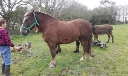 Alezan cheval à vendre